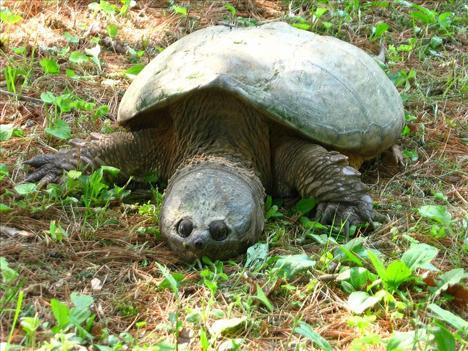Dünyanın egzotik kaplumbağaları  1