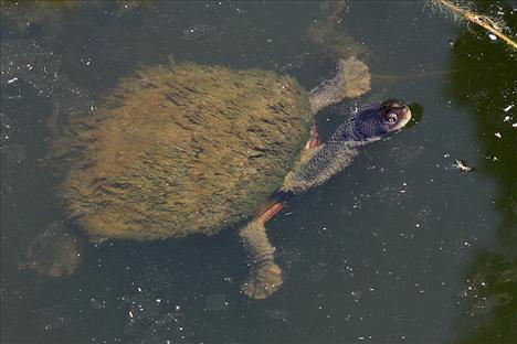 Dünyanın egzotik kaplumbağaları  5