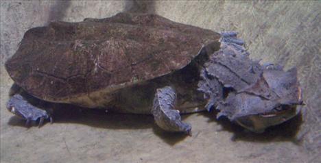Dünyanın egzotik kaplumbağaları  6