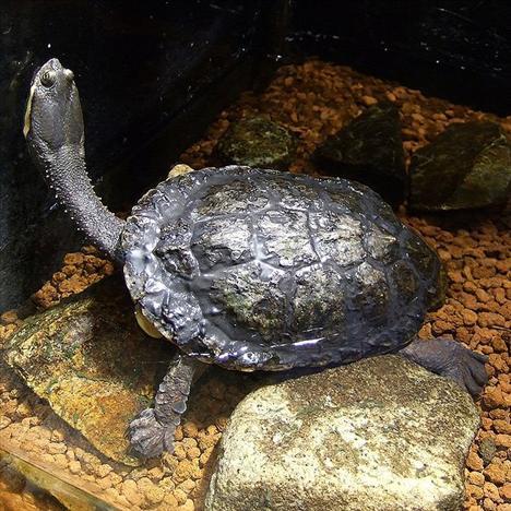 Dünyanın egzotik kaplumbağaları  7