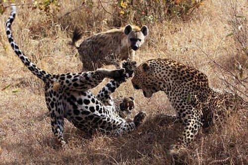Vahşi doğanın avcı hayvanları  2