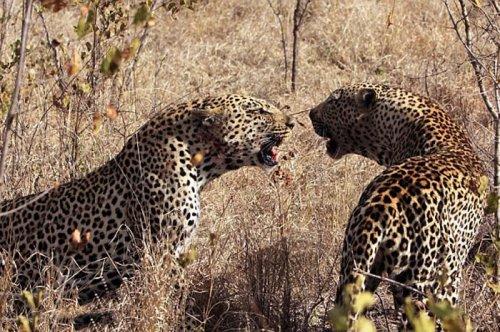 Vahşi doğanın avcı hayvanları  3