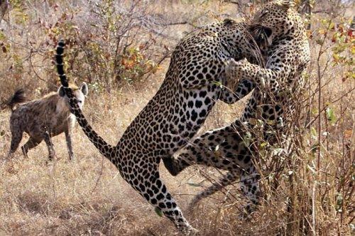 Vahşi doğanın avcı hayvanları  4