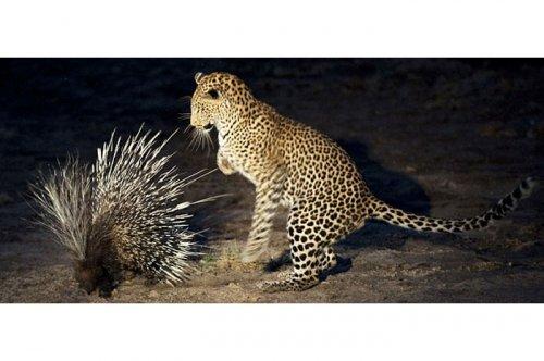 Vahşi doğanın avcı hayvanları  5