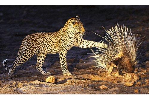 Vahşi doğanın avcı hayvanları  6