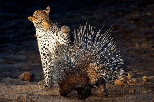 Vahşi doğanın avcı hayvanları  7