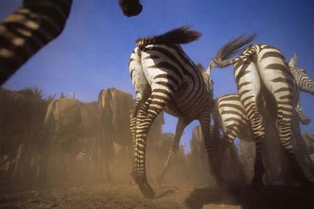 Aslan Zebrayı böyle avladı! 11