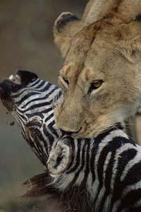 Aslan Zebrayı böyle avladı! 13