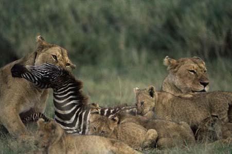 Aslan Zebrayı böyle avladı! 14