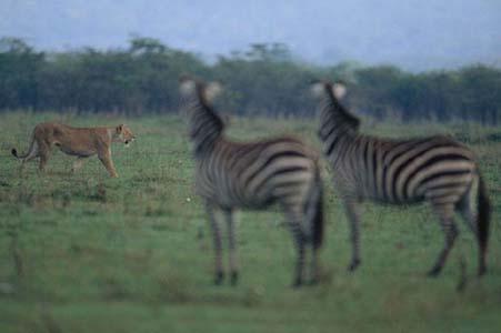 Aslan Zebrayı böyle avladı! 2