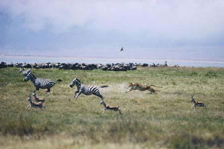 Aslan Zebrayı böyle avladı! 7
