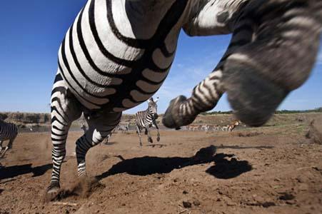 Aslan Zebrayı böyle avladı! 8