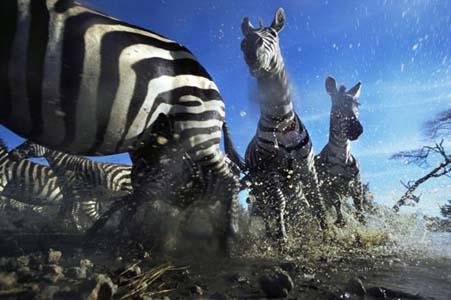 Aslan Zebrayı böyle avladı! 9