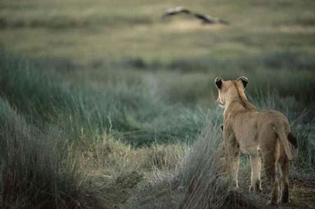 Aslan Zebrayı böyle avladı!