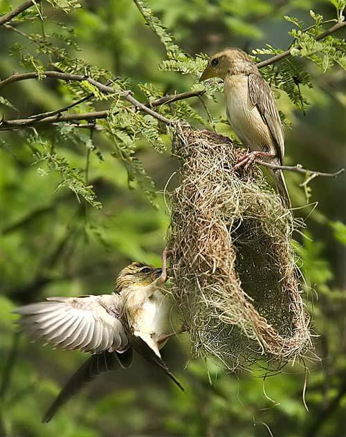 Mimar Kuşların Sanat Harikaları 5