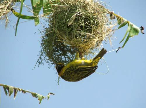 Mimar Kuşların Sanat Harikaları 7