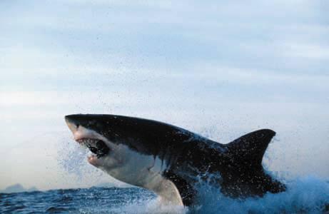 Köpekbalığının Foka Saldırı Anı  1