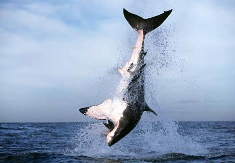 Köpekbalığının Foka Saldırı Anı  11