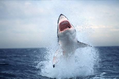 Köpekbalığının Foka Saldırı Anı  3