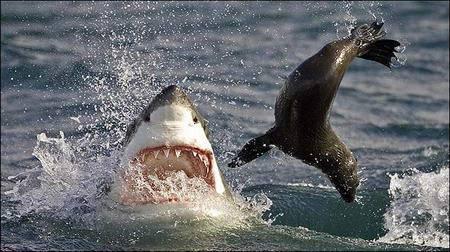 Köpekbalığının Foka Saldırı Anı  4