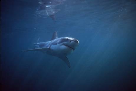 Köpekbalığının Foka Saldırı Anı  5