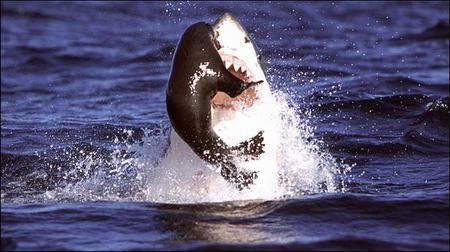 Köpekbalığının Foka Saldırı Anı  7