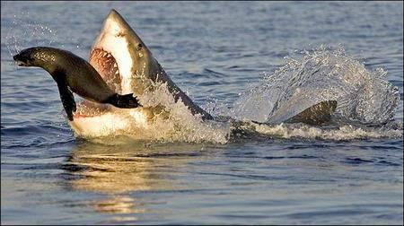 Köpekbalığının Foka Saldırı Anı  8