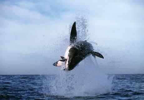 Köpekbalığının Foka Saldırı Anı  9