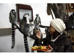 Halka Kuyruklu Lemurlara Özel Meyve Kokteyli