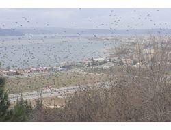Çanakkale'de Sığırcık Kuşları Gösterisi