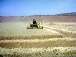 Amik Ovasında Buğday Hasadı Başladı