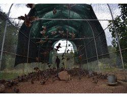 Kahramanmaraşta Üretilen Keklikler Türkiye Genelinde Doğaya Salınıyor