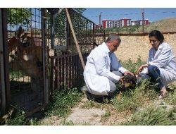 Kırıkkalede 2 Bin 200 Kedi Ve Köpek Kuduza Karşı Aşılandı