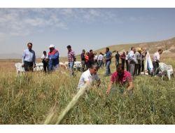Nevşehirli Çiftçiler Macar Fiği İle Üç Katı Verim Yakaladı