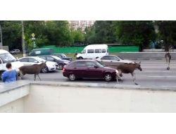 Moskova Sokaklarında Geyikler Kameraya Yakalandı