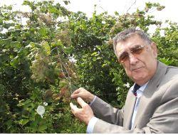 240 Bin Dönüm Fındık Bahçesi Amerikan Kelebeği Tehdidi Altında