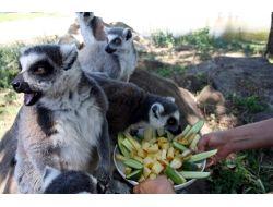 Ayılar Karpuz, Lemurlar Meyve Salatası İle Serinliyor