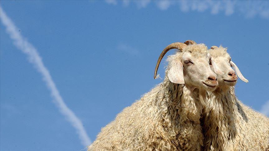 Ankara keçisi varlığı 10 yılda iki kattan fazla arttı