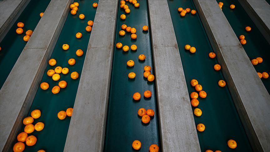 Türkiye'den Rusya'ya en çok mandarin ihraç edildi!
