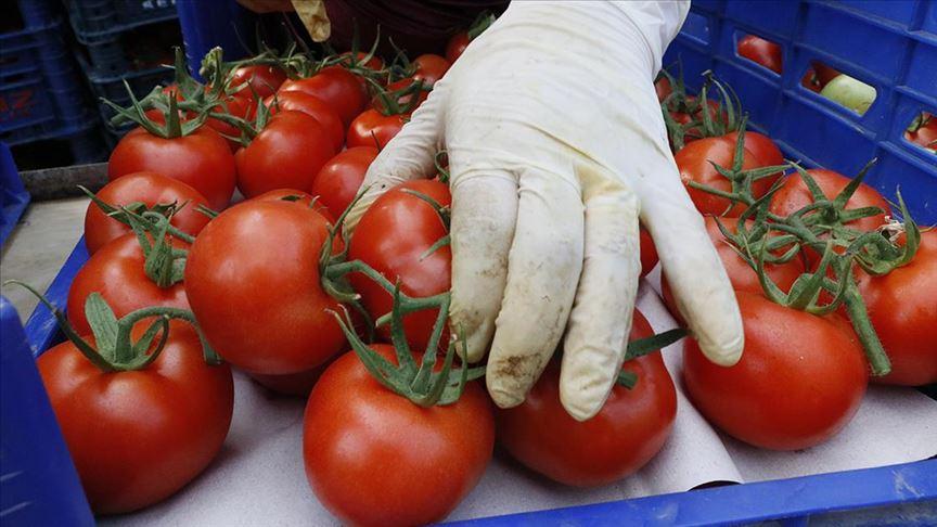 Rusya, Türkiye'den domates ithalat kotasını artırdı!