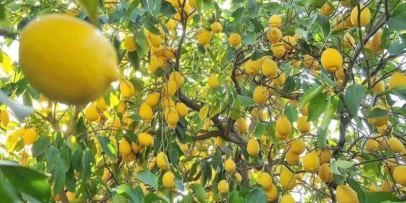 Limon İhracatına İlişkin Tebliğ (İhracat: 2020/7)