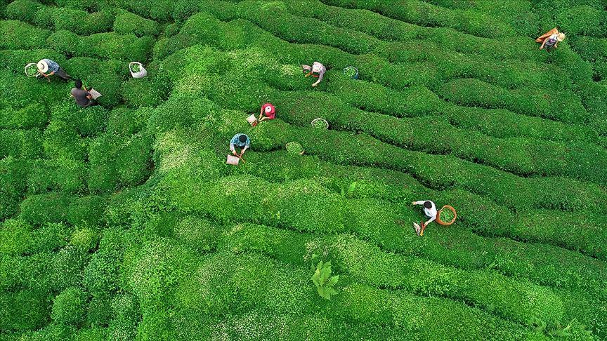 ÇAYKUR'dan yaş çay alımı ve kontenjan uygulaması açıklaması