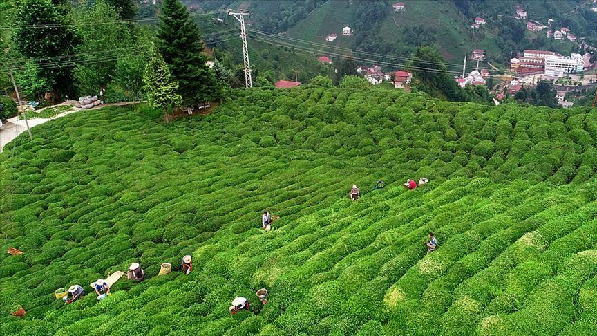 Çay ihracatı ilk 4 ayda tam 5,2 milyon dolar kazandırdı
