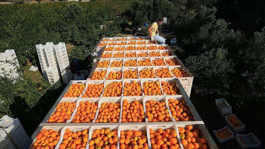 Rusya'ya mandarin ihracatı 5 ayda yüzde 50 arttı!