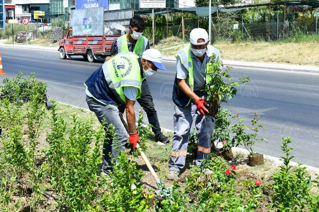 Ankara Büyükşehir Belediyesi, Ayaş Yolunu güllerle süsledi