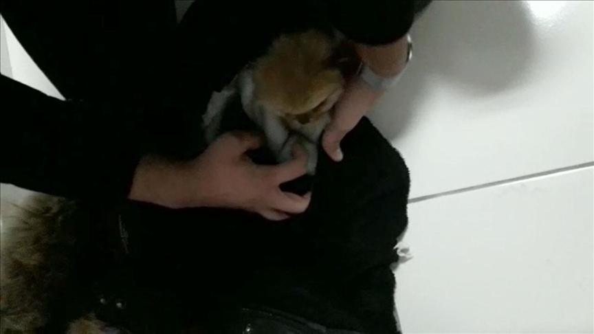 İlaçla uyuttuğu yavru köpekleri kabanının astarı içerisine gizleyerek getirmiş!