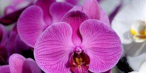 Suudi Arabistan'dan orkideye Sevgililer Günü talebi