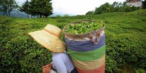 ÇAYKUR'da yaş çay bedeli ödemelerine başlandı