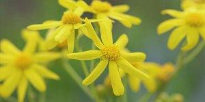 Iğdır'ın ovaları sarı çiçeklerle renklendi