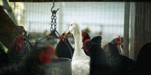 Fransa'da 'kuş gribi' paniği başladı!